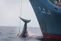 不为财与食 日坚持捕鲸为的是…