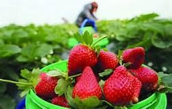 草莓现采别现吃!教你2招KO农药